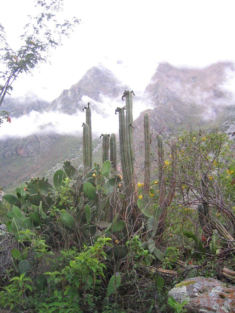 Photo of Echinopsis pachanoi in Peru Trichocereus pachanoi