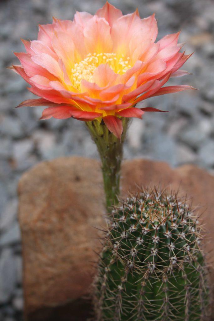 Echinopsis hybrid Margaret Martin Flower 2