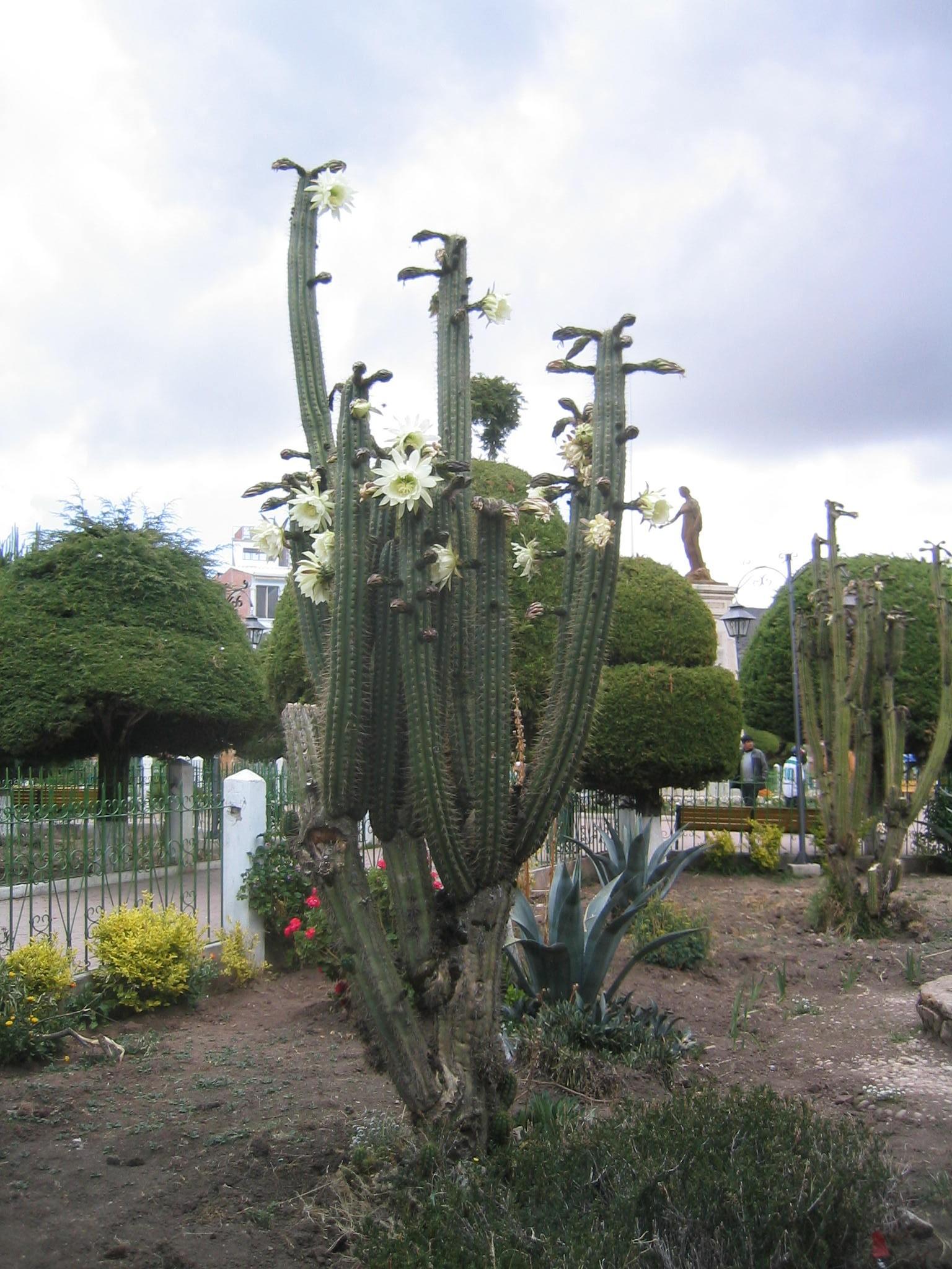 Micah MacAllen Flowering_San_Pedro_cactus