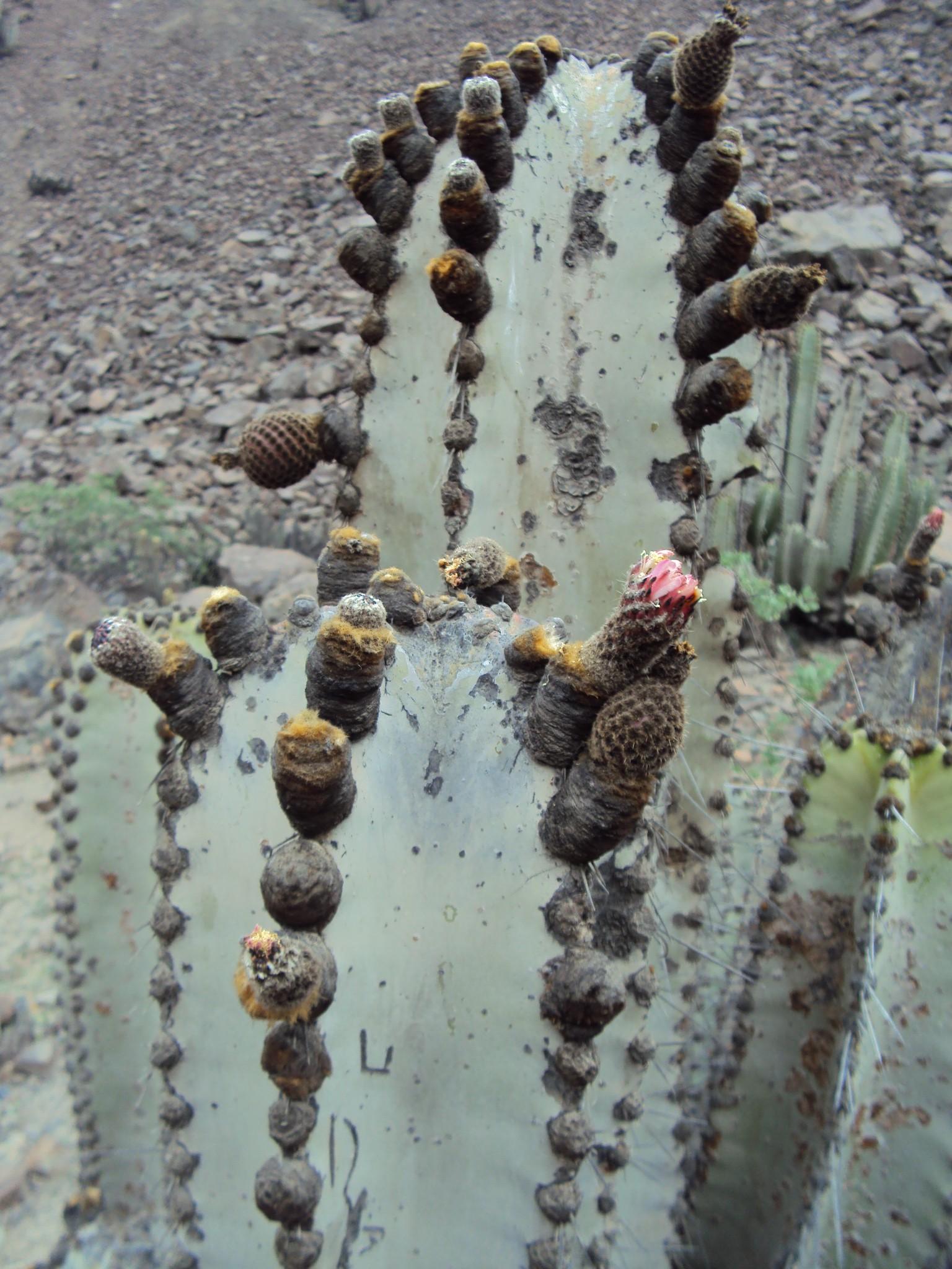Neoraimondia roseiflora seeds - Lurin Valle 3