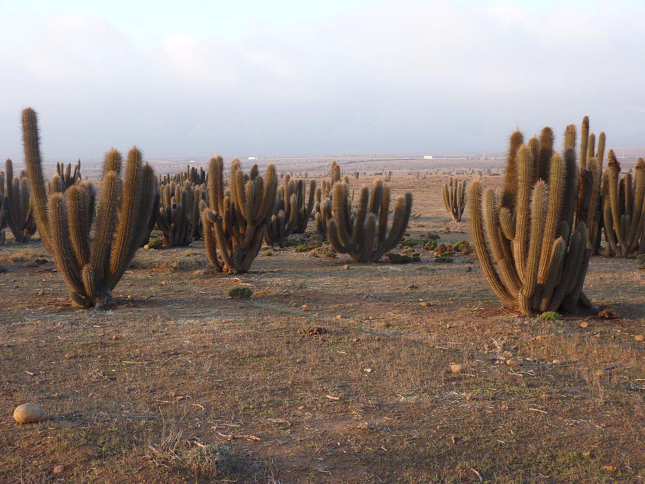 Trichocereus chiloensis v. skottsbergii Echinopsis chiloensis