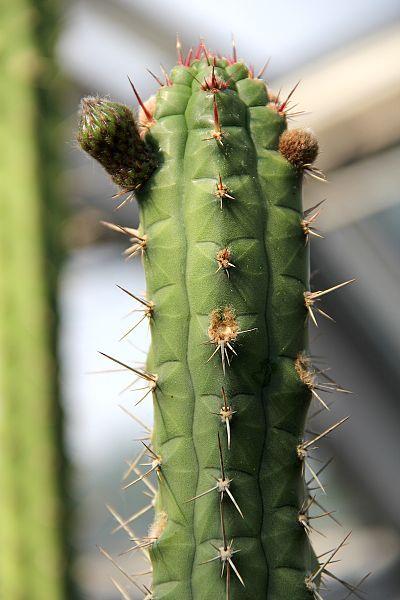 Peter A Mansfeld Rauhocereus riosaniensis pm Azureocereus