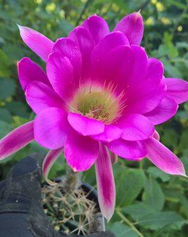 Trichocereus Seeds / Trichocereus Samen cactus cacti