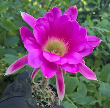 Trichocereus seeds Echinopsis seeds cacti cactus kakteen Lobivia