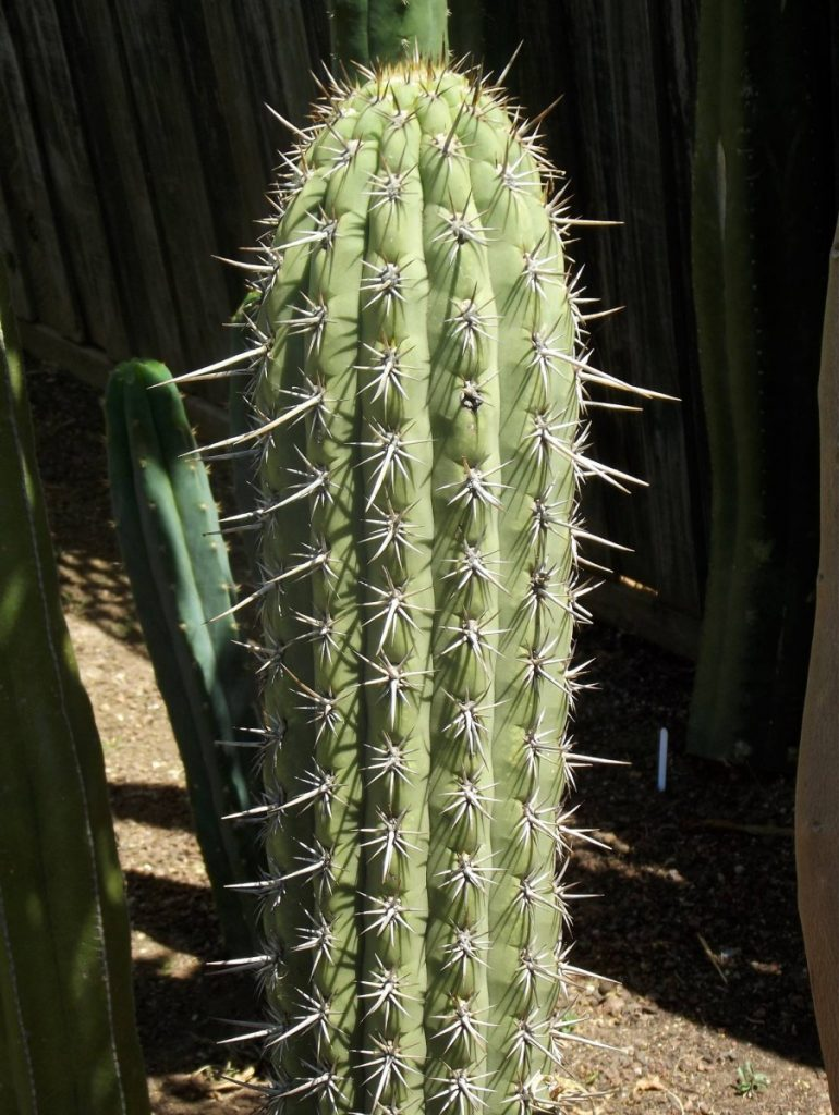 Photo Trichocereus chiloensis Rodni Kisar