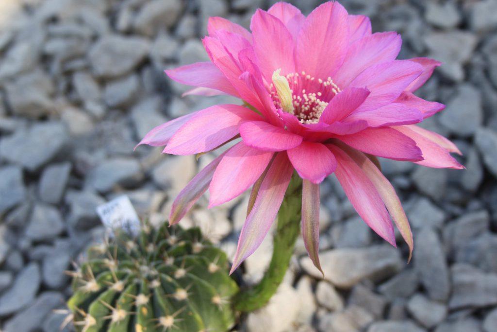Pseudolobivia JT.2009.0048 Flower Cactus Cacti Echinopsis Trichocereus Lobivia winteriana