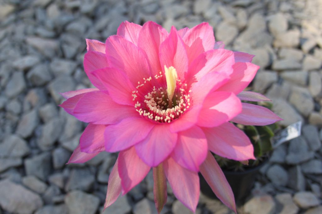 Pseudolobivia JT.2009.0048 Flower Cactus Cacti Echinopsis Trichocereus Lobivia winteriana 2