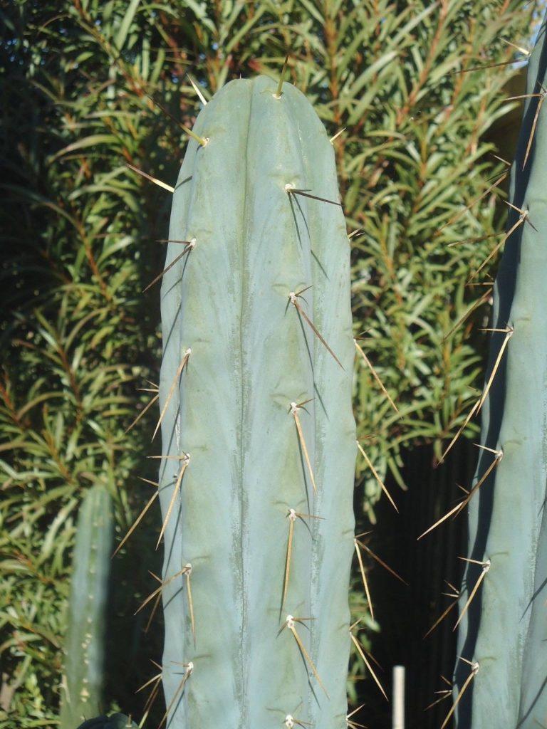 Trichocereus bridgesii Echinopsis lageniformis Psycho0