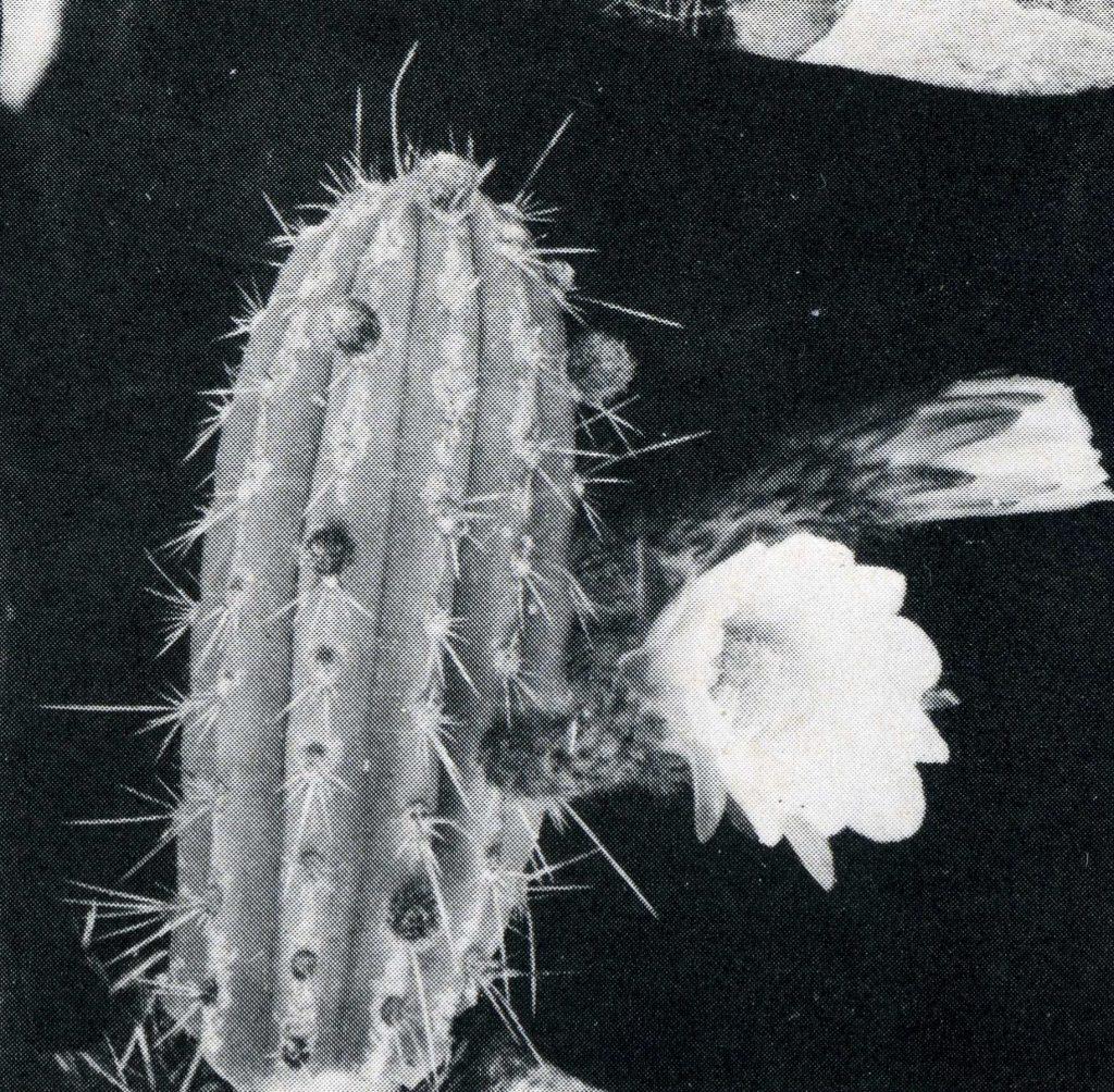 Trichocereus puquiensis Echinopsis puquiensis