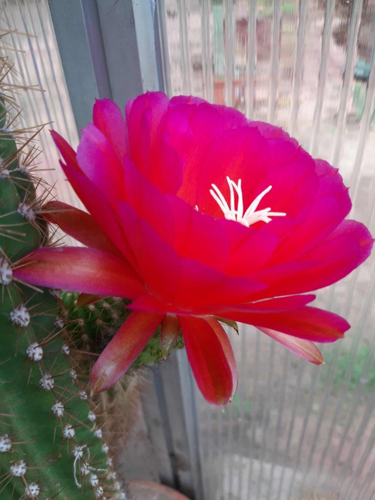 Trichocereus Red California Flower seeds cactus cacti