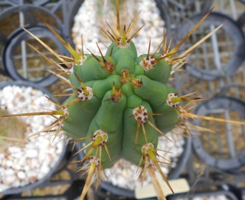 SAB Trichocereus Tarmaensis KK2148 Echinopsis tarmaensis knize