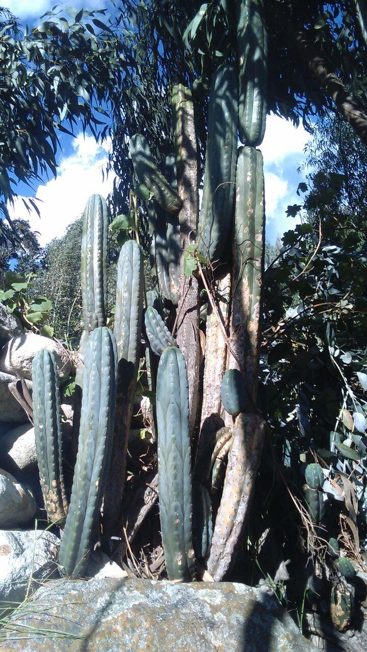 Trichocereus santaensis Anra Seeds Samen