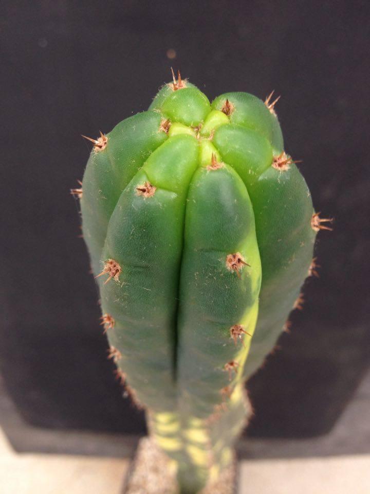 Saquarema Trichocereus pachanoi 2