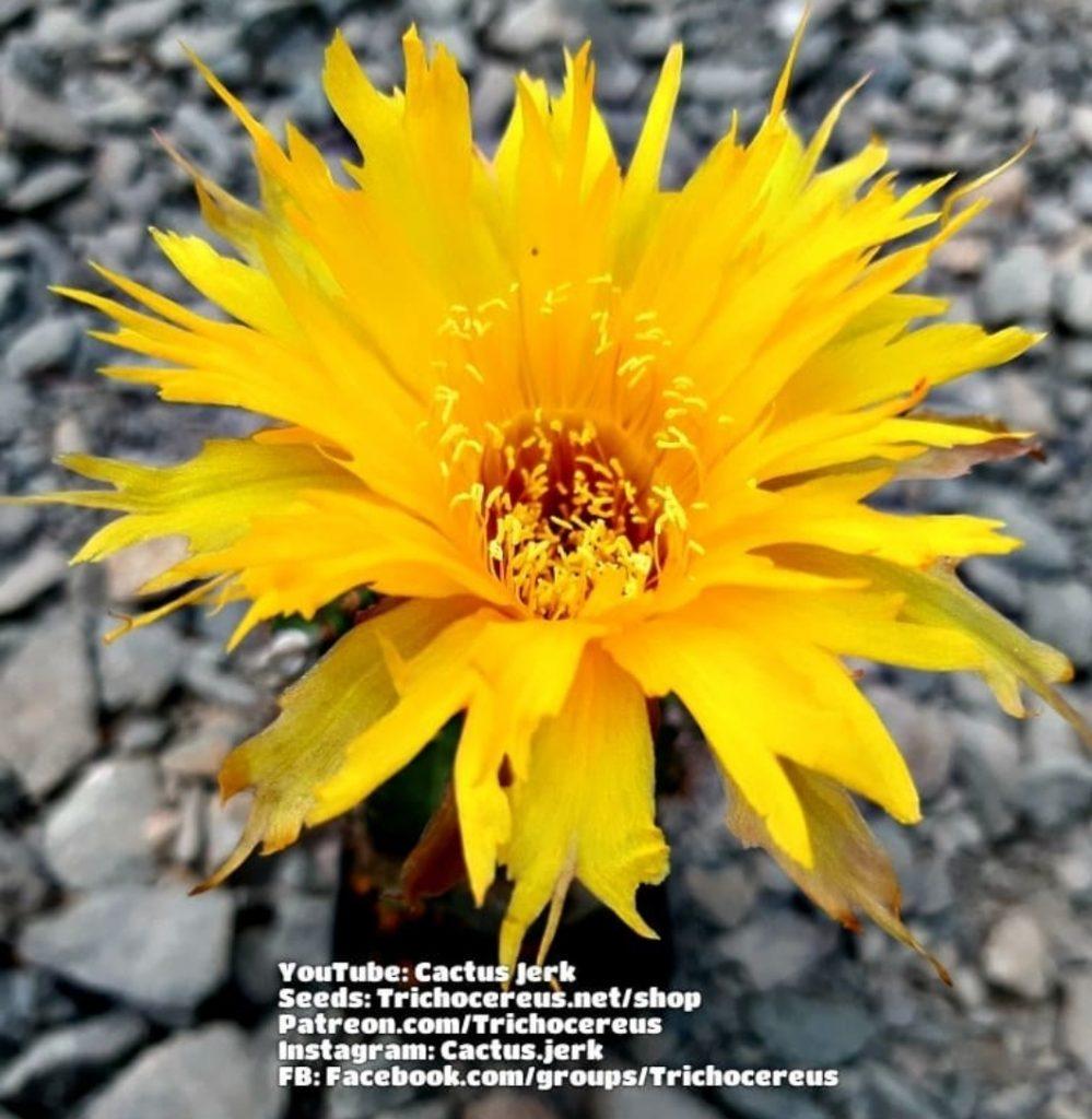 Echinopsis Sternschnuppe gezackt! It