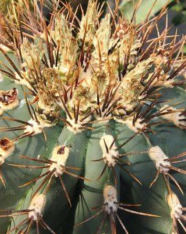 Premium Cactus Seeds - Kakteen Samen