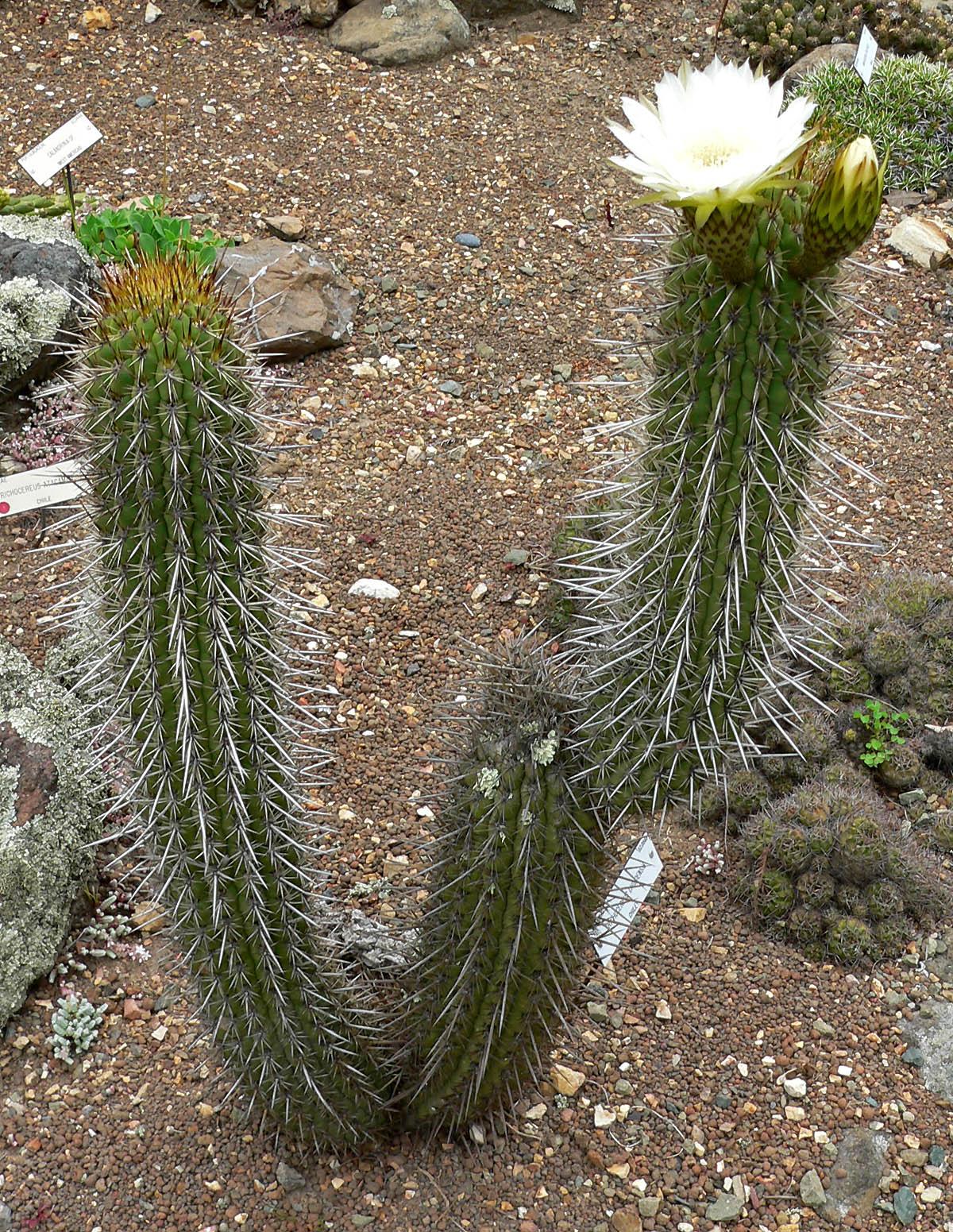 Stan Shebs Trichocereus chiloensis Echinopsis chiloensis Chilensis 2