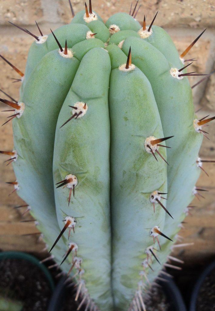 T. peruvianus 'Icaro'