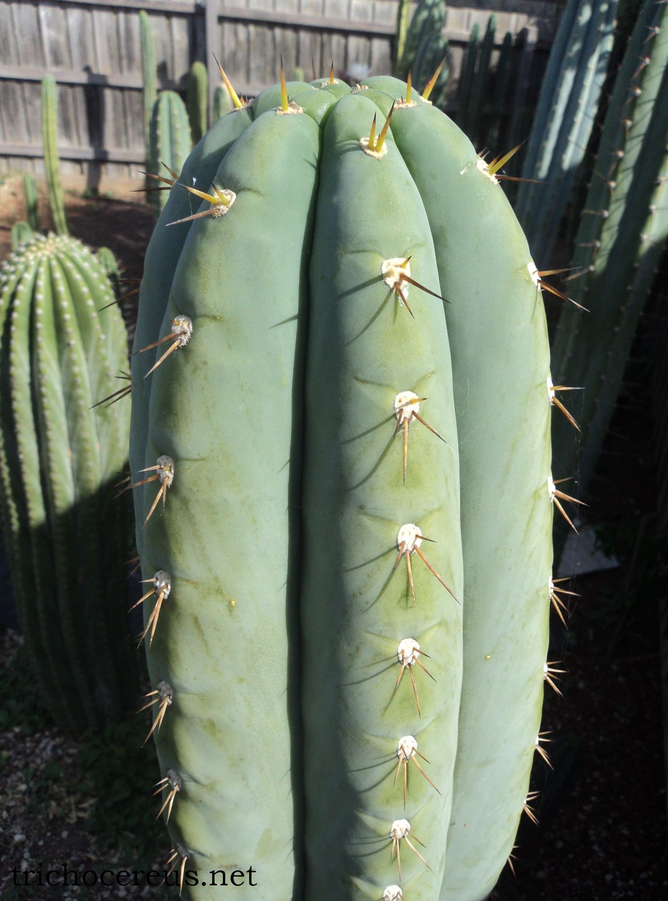 T. peruvianus 'Rosei 1'