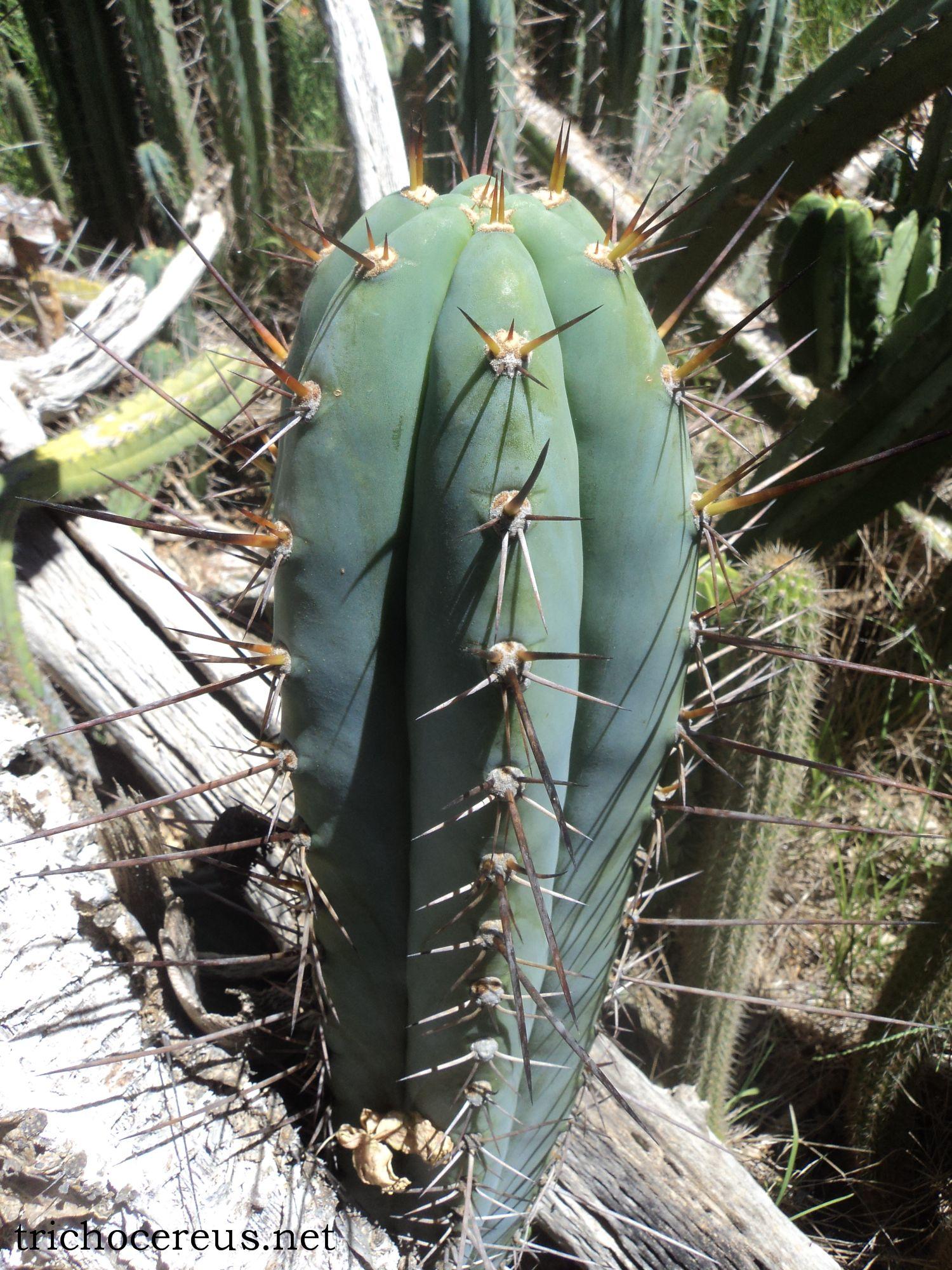T. peruvianus 'Rosei 2' At Fields