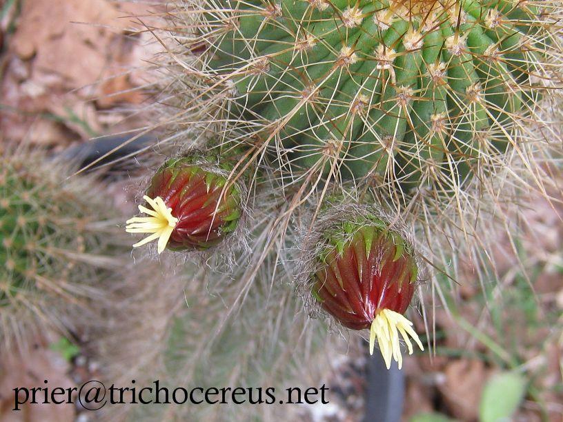 T.grandiflorus weird flower_7
