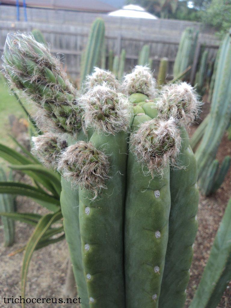 Trichocereus pachanoi 'Rod' Ecuador Echinopsis cactus