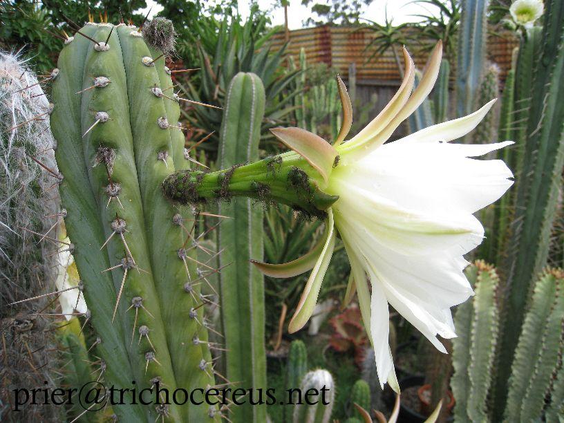 T.peru Roseii1 Flower_1