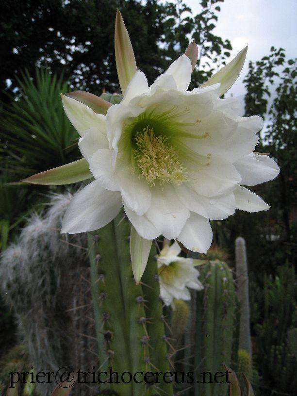 Trichocereus peruvianus Echinopsis peruviana Rosei flower photo Prier
