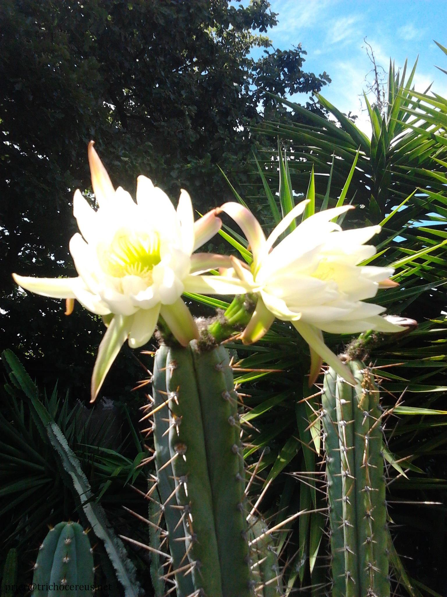 Trichocereus peruvianus Echinopsis peruviana Rosei2 flower