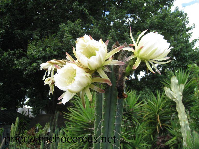 Trichocereus peruvianus Echinopsis peruviana Woolunda Flower_2