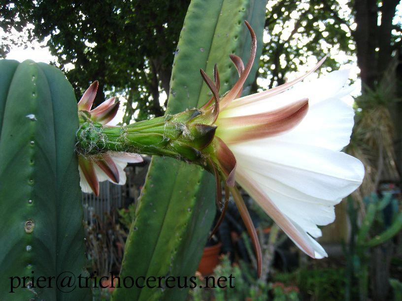 Trichocereus scopulicola _ Echinopsis scopulicola flower 5