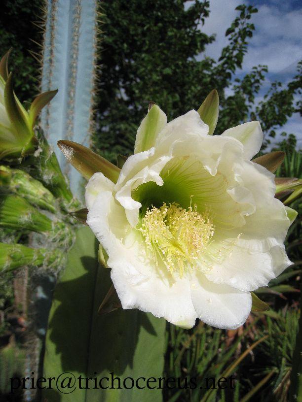 Trichocereus scopulicola _ Echinopsis scopulicola flower 3