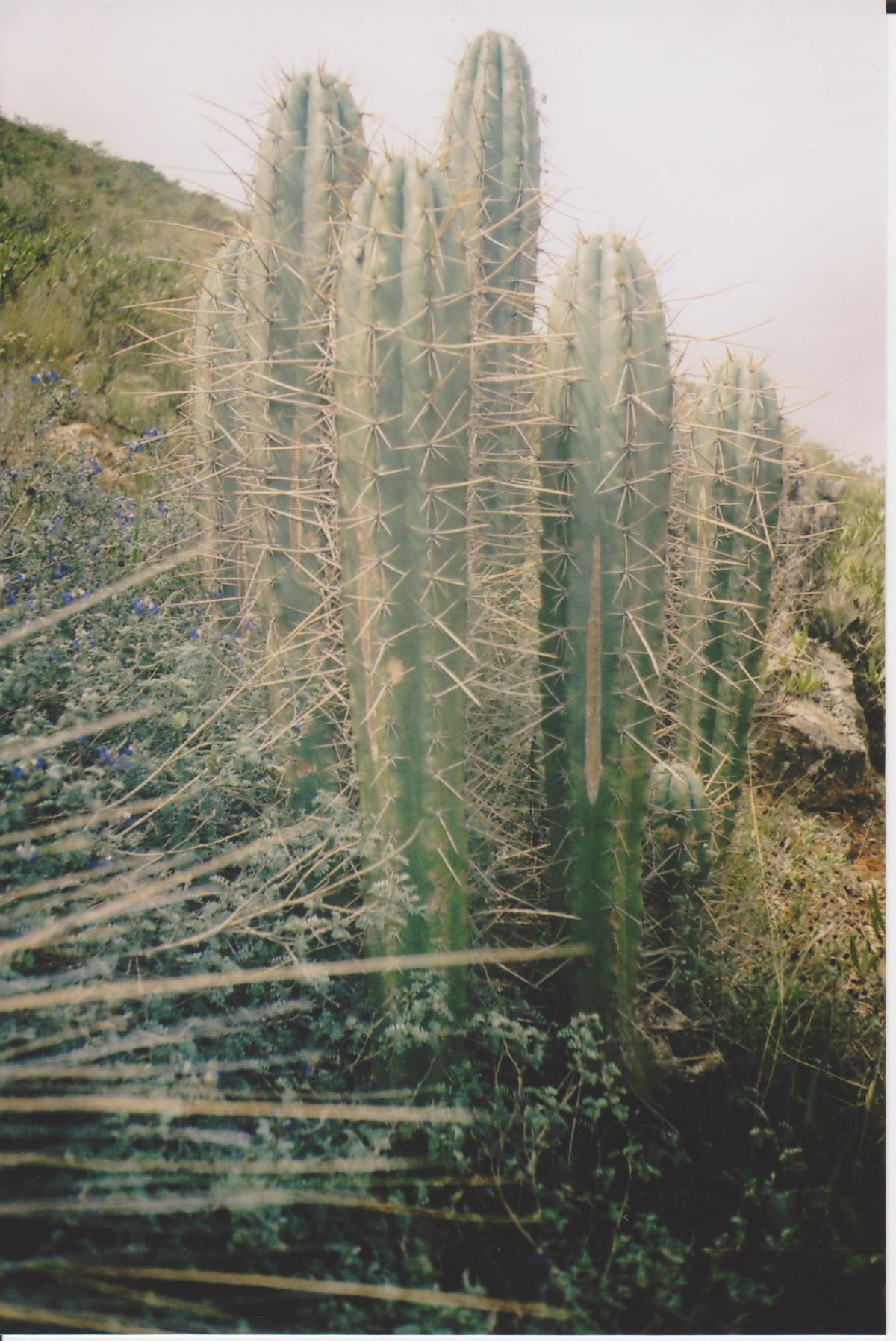 Trichocereus tarmaensis in Tarma
