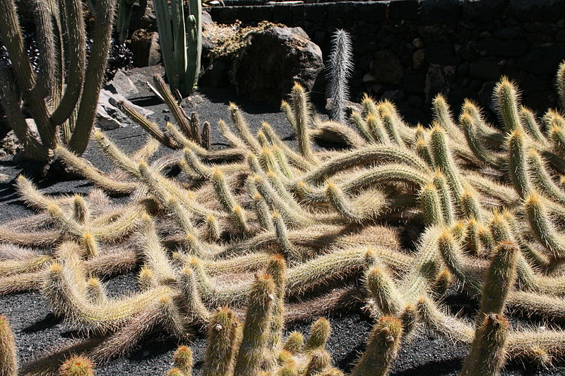 Teguise_Guatiza_-_Jardin_-_Echinopsis_camarguensis_01_ies