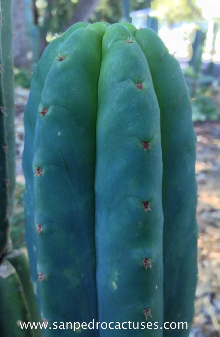 Tom Juul´s Giant TJG Trichocereus Cactus Affinity