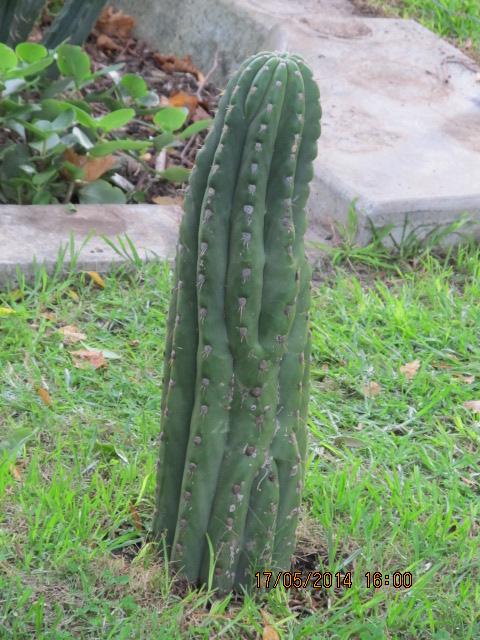 Trichocereus validus Echinopsis valida 666