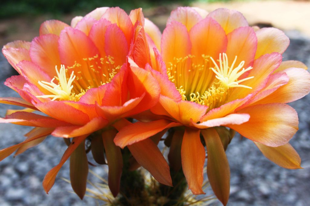 Trichocereus Andenken an Dr. Stauch Cantora Flower cactus cacti seeds