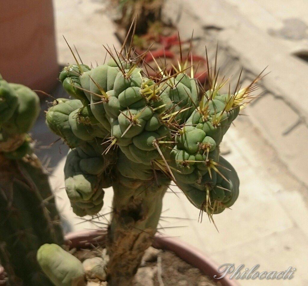 Trichocereus bridgesii crest monstrose Echinopsis lageniformis c2