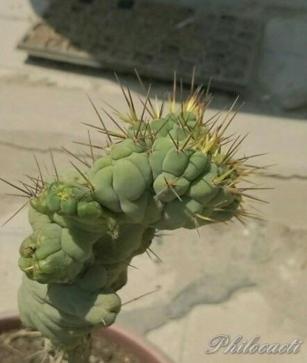 Trichocereus bridgesii crest monstrose Echinopsis lageniformis 4