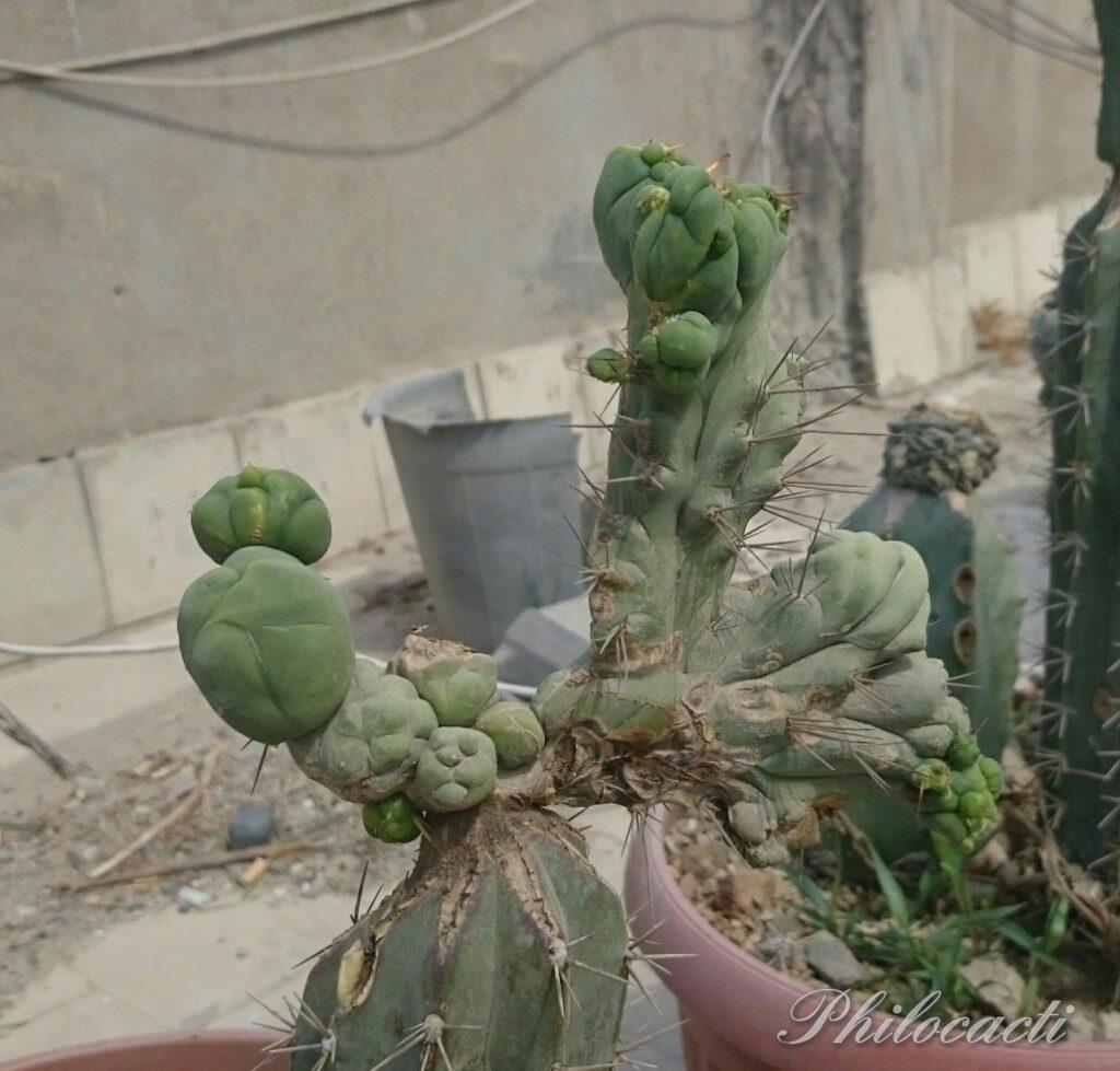 Trichocereus bridgesii crest monstrose Echinopsis lageniformis 3