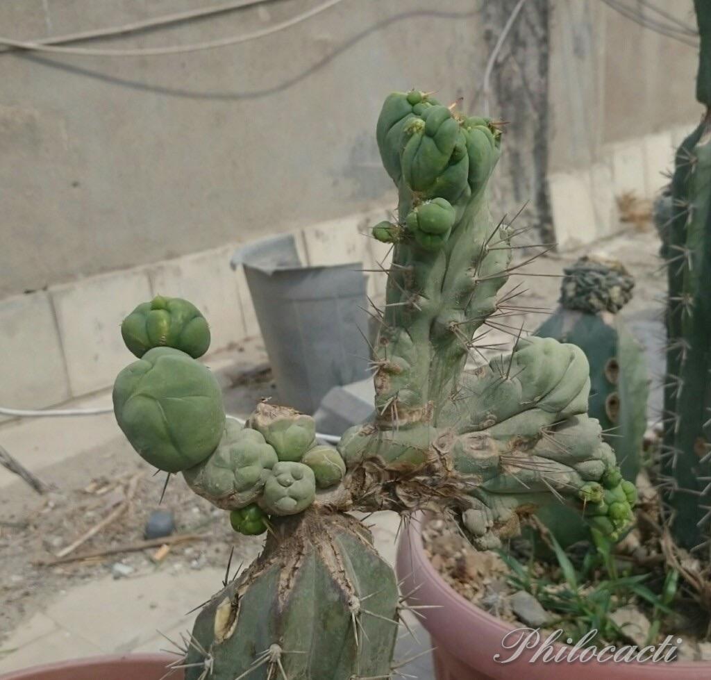 Trichocereus bridgesii crest crested cristata Philocacti Echinopsis lageniformis