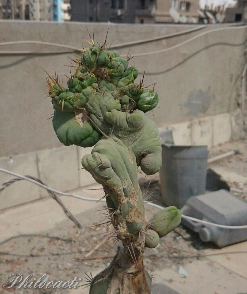 Trichocereus bridgesii crest monstrose Echinopsis lageniformis