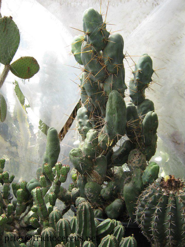 Trichocereus bridgesii TBM Clone B Echinopsis lageniformis