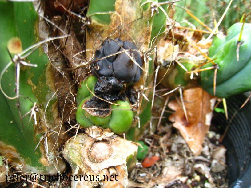Trichocereus bridgesii Australia Echinopsis lageniformis 4