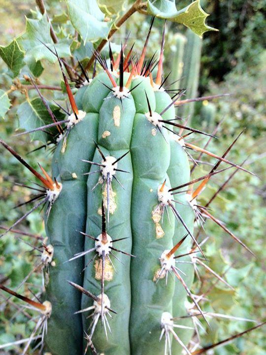 Trichocereus Chalaensis P.C. Hutchison in Arequipa, Caraveli, Peru