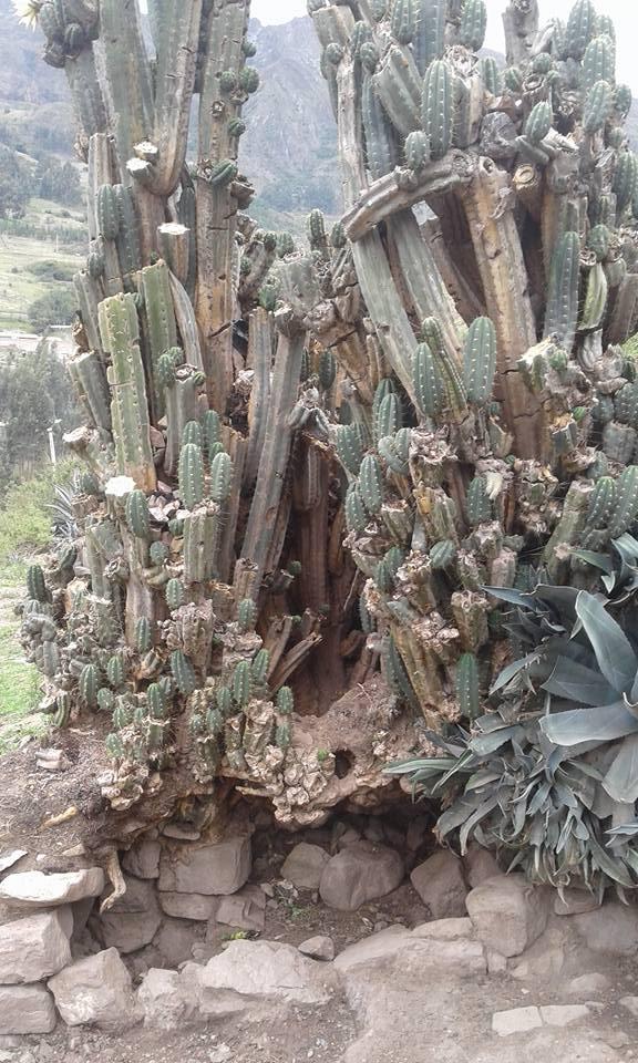 Cactus photo Trichocereus santaensis Chavin de Huantar El Lanzon Trichocereus santaensis Echinopsis santaensis Riley Flatten