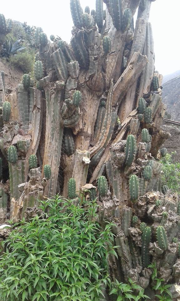 Cactus photo Trichocereus santaensis Chavin de Huantar El Lanzon Trichocereus santaensis Echinopsis santaensis Riley Flatten 5