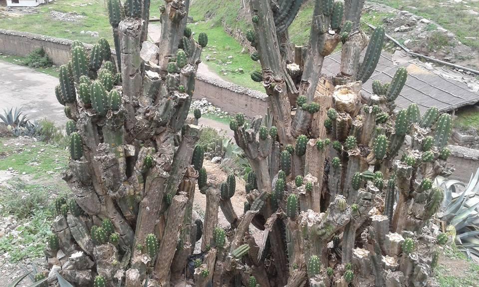 Trichocereus santaensis El Lanzon San Marcos Chavin de Huantar 3