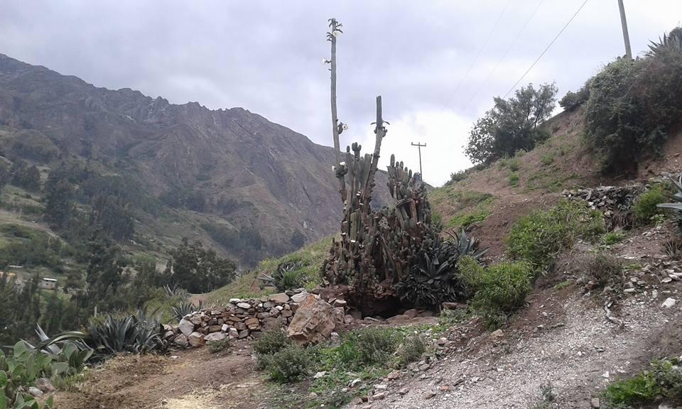 Trichocereus santaensis El Lanzon San Marcos Chavin de Huantar 5