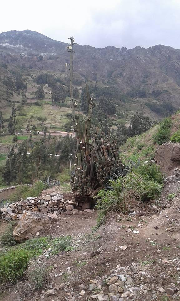 Photo Trichocereus Chavin de Huantar El Lanzon Trichocereus santaensis Echinopsis Riley Flatten 3