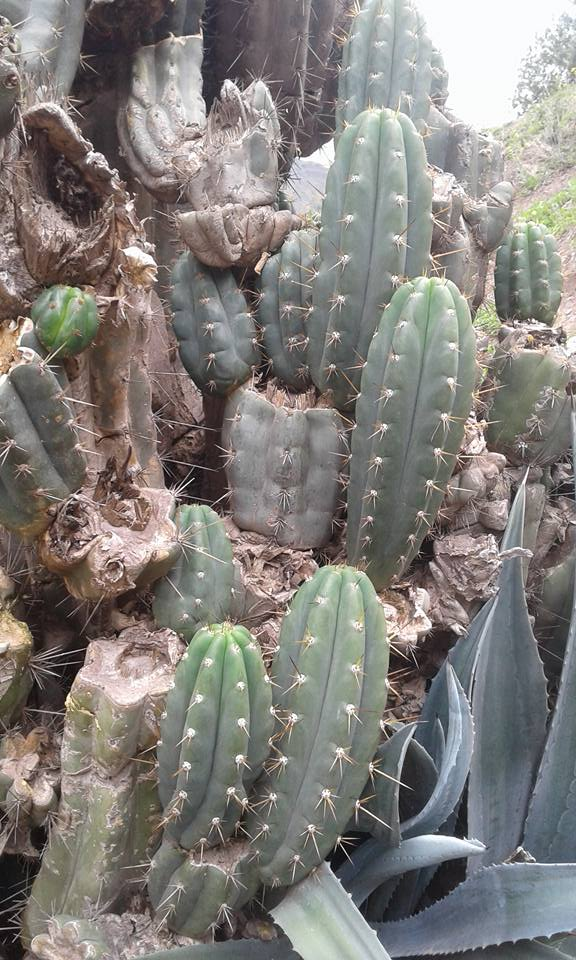 Photo Trichocereus Chavin de Huantar El Lanzon Trichocereus santaensis Echinopsis santaensis Riley Flatten 2